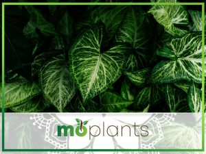 Guide on growing philodendron outdoors and indoors