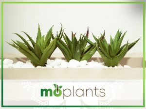 Guide to growing aloe vera plant