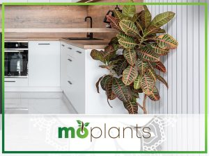 Guide on growing croton plant indoors