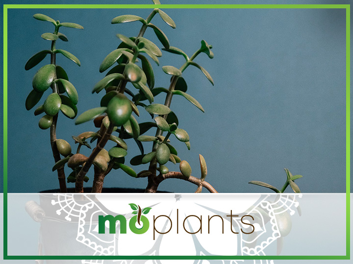 Complete Guide on How to Grow and Care for a Jade Plant