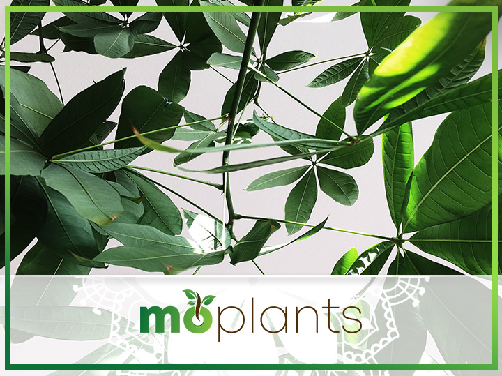 Guide on how to grow umbrella plant