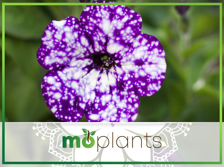 Galaxy Flowers – A Celestial Petunia Variety that Will Leave You Speechless