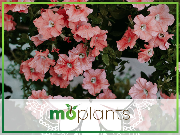 Complete Guide on How to Grow and Care for Petunias